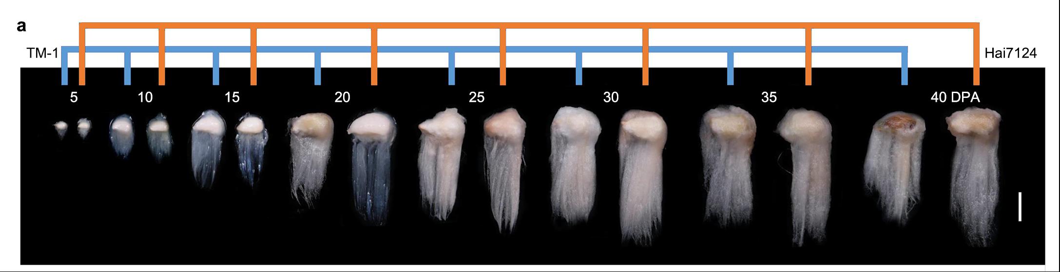 """浙大学者新发现 未来棉花的""""质""""与""""量""""或可兼得"""