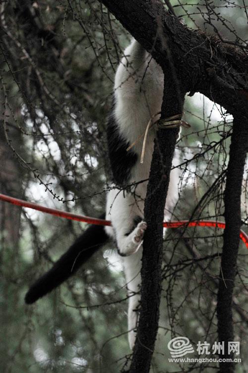 老虎师父 学爬树 视频