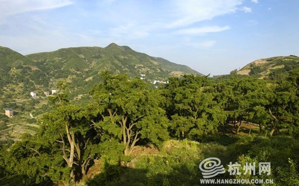5000万建造香榧森林公园 绍兴的乡村旅游独具特色