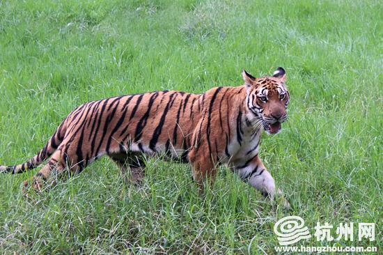 据悉,作为中国特有虎的亚种,全世界华南虎数量比大熊猫还要稀有,仅存