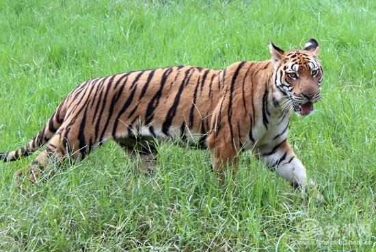 杭网原创 原创新闻  近日,中国动物园协会华南虎保护协调委员会2014年