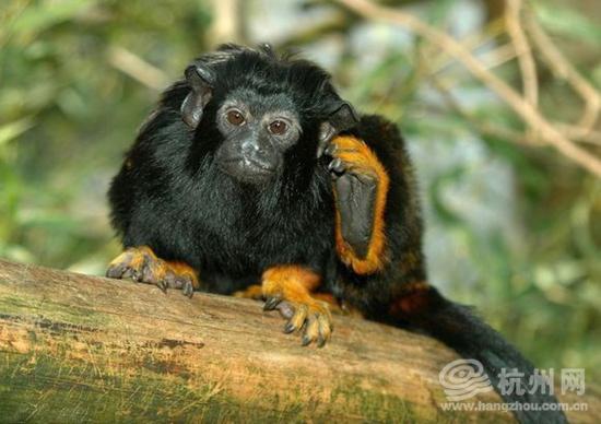 松鼠猴  赤掌柽柳猴  杭州检验检疫局工作人员正在对猴子们进行采血。 猴年的钟声即将敲响,来自圭亚那的猴子精灵们马上就要与广大游客见面了。 来自圭亚那的45只松鼠猴、5只赤掌柽柳猴于去年12月17日乘坐飞机抵达上海浦东国际机场,并顺利转运至位于杭州富阳的猴子隔离检疫场。这是杭州地区首次进口松鼠猴和赤掌柽柳猴。 隔离检疫期间,工作人员对所有猴子逐一采取血样,送实验室进行沙门氏菌、志贺氏菌和B病毒等疫病的检测,经检测全部合格,等30天隔离期满后小家伙们将分头前往杭州、宁波、上海等地的野生动物园安家。 小贴