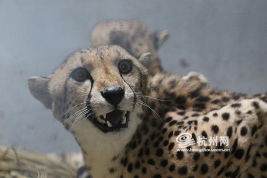 最快的动物,猎豹的奔跑时速可达120公里,堪比飞驰在高速公路上的汽车.