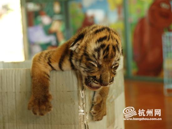 """稀世""""中国虎""""降临!杭州野生动物世界再诞华南虎宝宝"""